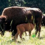 insolites_bisons