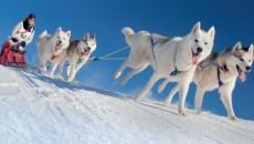 courses_chiens_traineaux